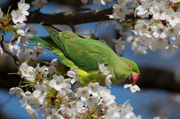 Rose ringed parakeet in St James's Park, London, feeding on blossom © Getty Images