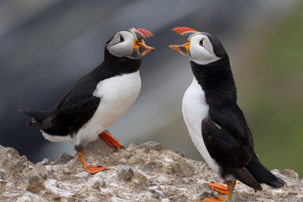 Puffins in dispute on Skomer Island © Getty Images