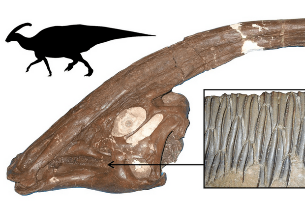 One of the most successful dinosaur plant-eaters, Parasaurolophus from the Late Cretaceous of North America, showing the skull, with long crest, the multiple rows of teeth, and body outline © University Of Bristol