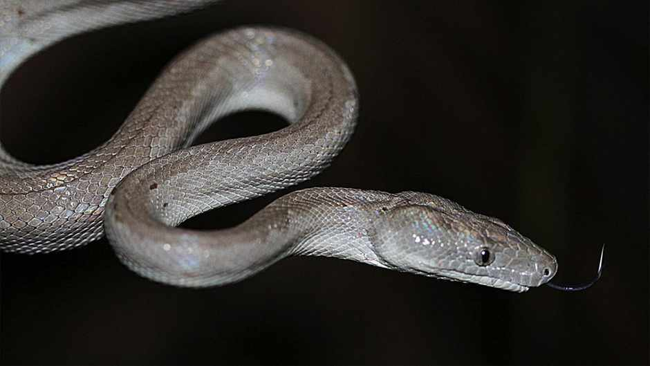 The Silver Boa © R. Graham Reynolds