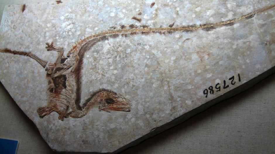 Sinosauropteryx - the first true colour dinosaur Sam / Olai Ose / Skjaervoy from Zhangjiagang, China (Dinosaurs!) [CC BY-SA 2.0], via Wikimedia Commons