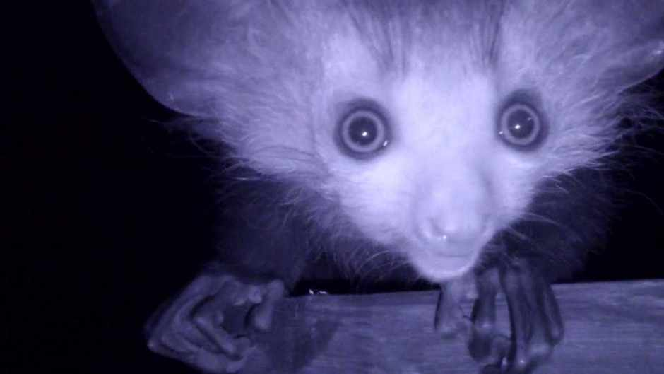 Spooky aye-aye caught on camera © ZSL