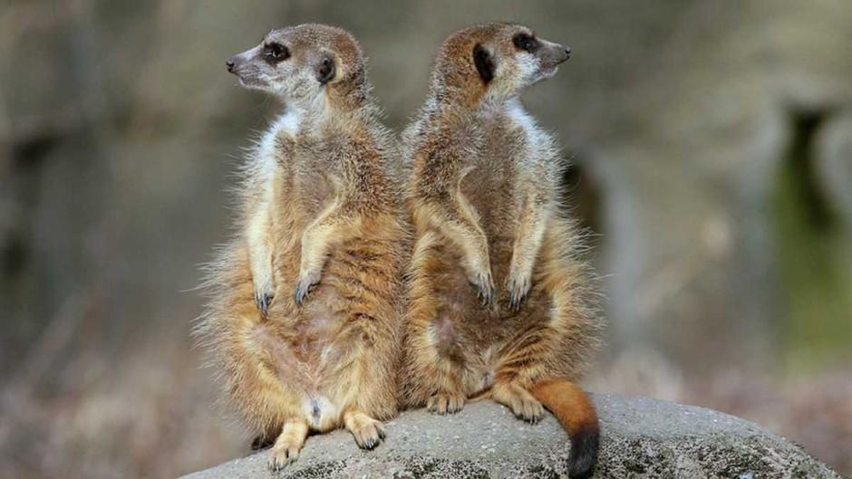 Meerkats are the most murderous mammal on Earth © Getty Images