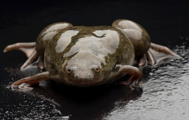 An African clawed frog, Xenopus laevis borealis © Joel Sartore/National Geographic/Getty Images