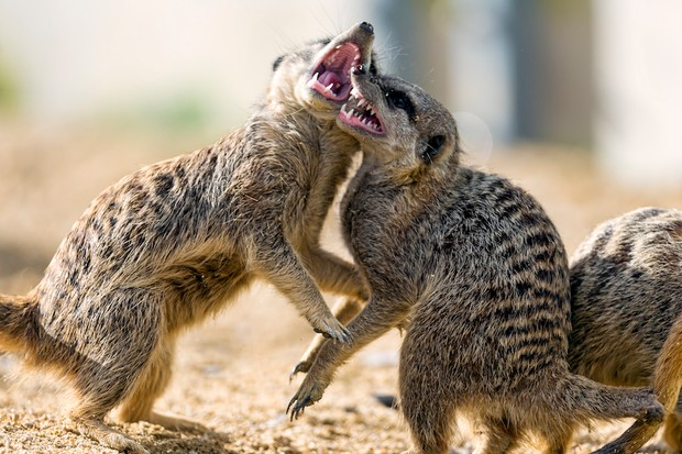 Meerkat fight! © Getty