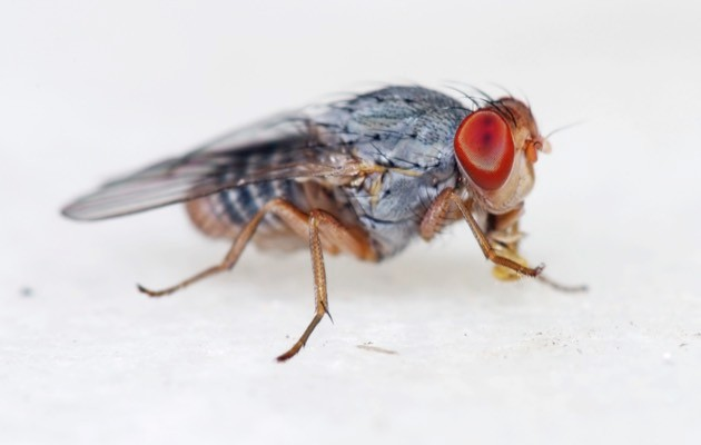 Small fruitfly close-up © iStock