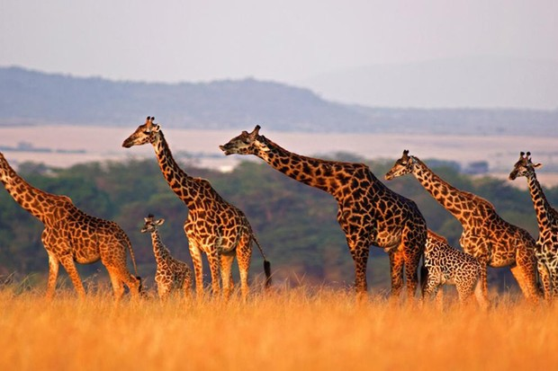 Study hopes to reveal secrets of giraffe evolution © iStock