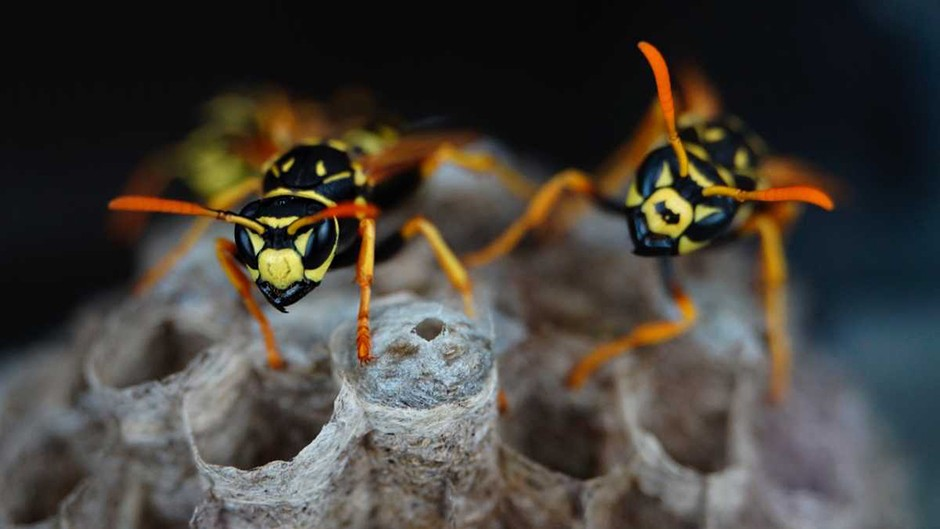 Paper wasps punish rivals with poker faces © iStock