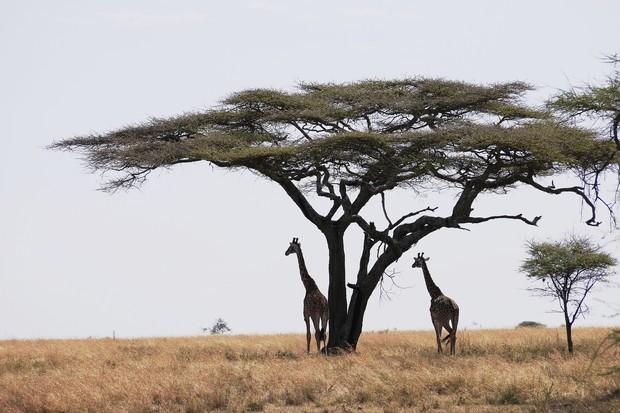 Giraffes on the Serengeti Plain of Tanzania. © Bill Laurance