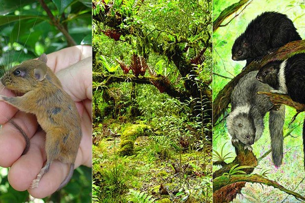 A tree-dwelling mouse, a forest in Luzon (© Larry Heaney, The Field Museum) and cloud rats (© Velizar Simeonovski, The Field Museum)
