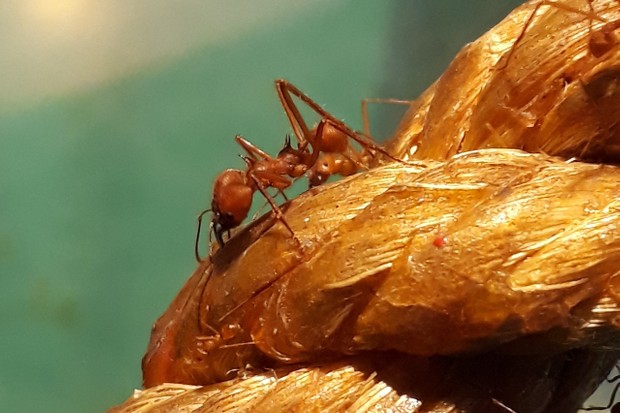 Leafcutter ants on patrol