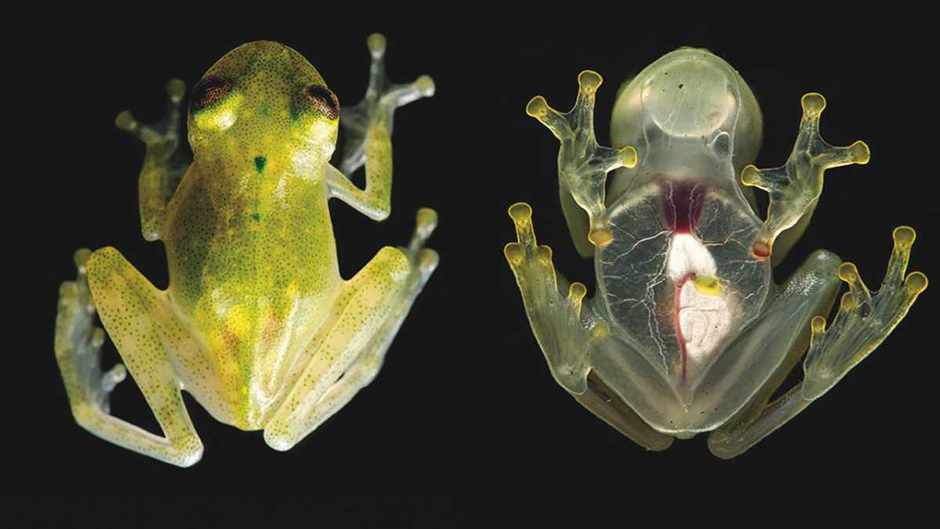 Newly discovered frog species has a visible heart © Jamie Culebras/Ross Maynard