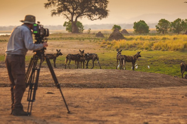 How they filmed incredible scenes of Painted wolves in Dynasties © BBC/Nick Lyon