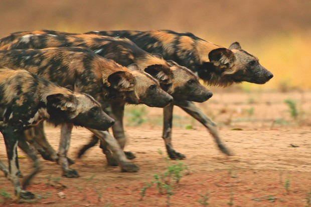 Painted wolves, also called African wild dogs or painted dogs, are found in pockets of sub-Saharan Africa. They are endangered, with threats that include habitat loss, human persecution, and diseases from domestic dogs © BBC/Nick Lyon