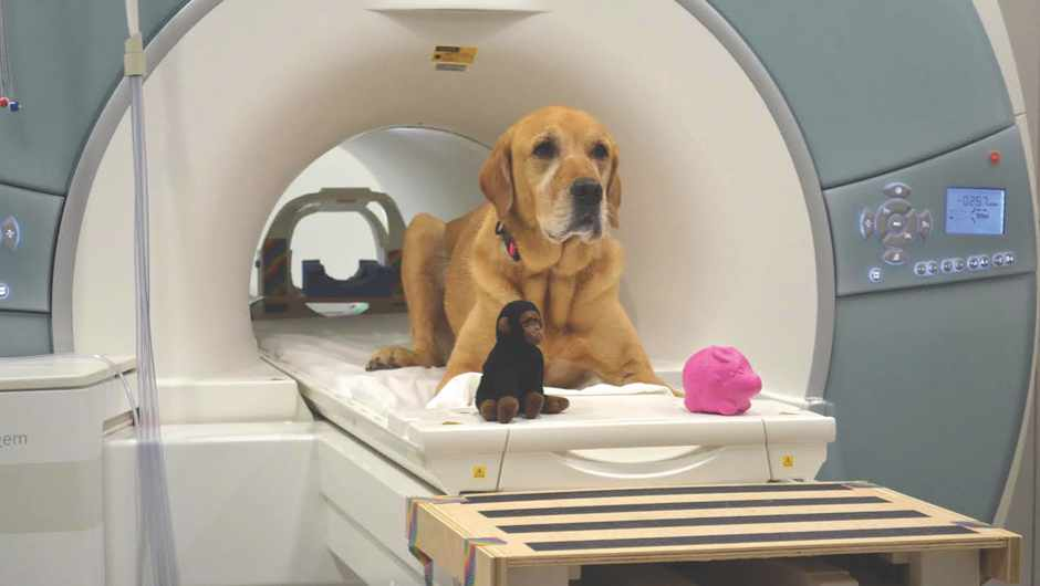 Brain scan study reveals how dogs respond to language © Gregory Berns/Emory University