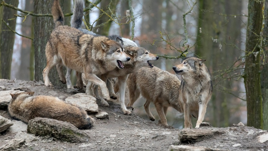 The wolf pack: sharp teeth and strong family units © Getty Images