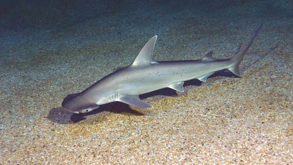 Bonnethead shark (Sphyrna tiburo) Seaquarium du Grau du Roi, France © Getty Images