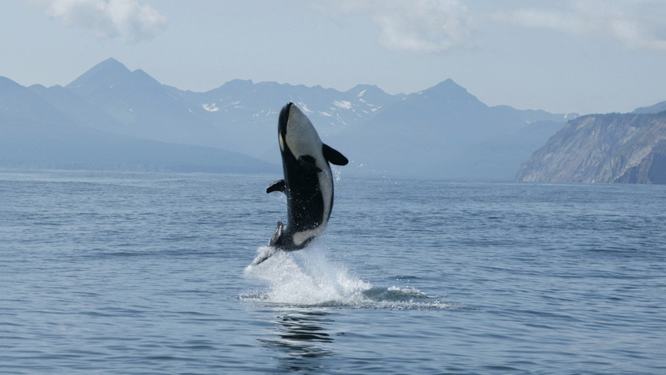 Why orcas are more 'caring' than 'killer' whales © Getty Images