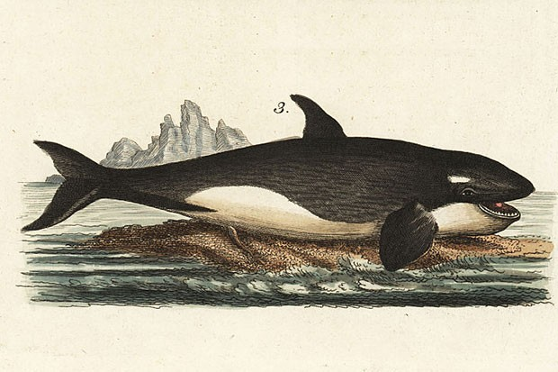 Handcoloured copperplate engraving of Orcinus orca from Friedrich Johann Bertuch's Bilderbuch fur Kinder (Picture Book for Children), Weimar, 1795 © Florilegius/SSPL/Getty Images