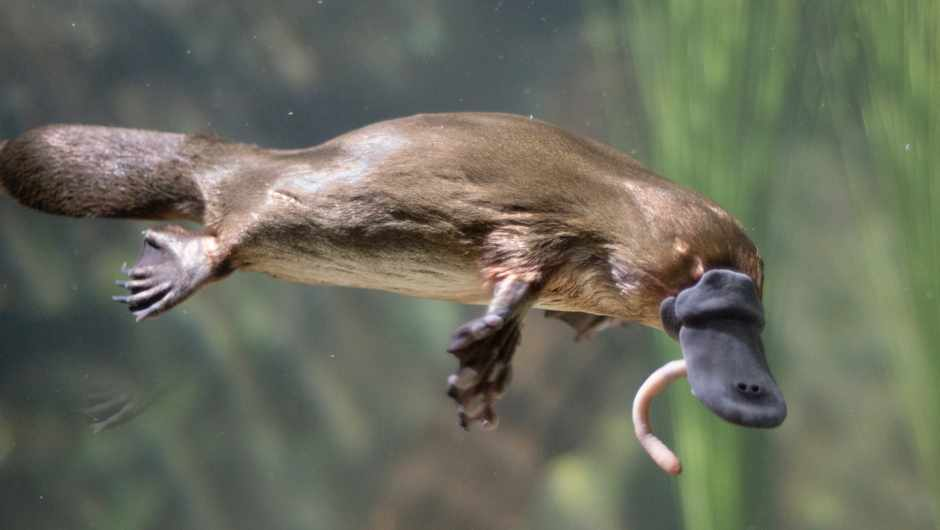 Do platypuses really sweat milk? © Getty Images