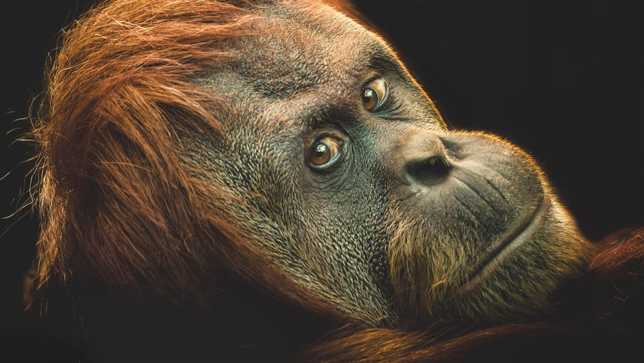 Orangutans hook up tool-based solutions quicker than human kids © Getty Images