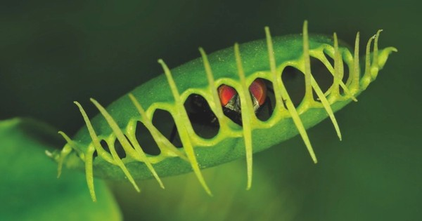 How do Venus flytraps know when to shut?