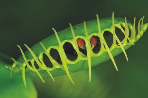 How do Veuns flytraps know when to shut? © Getty Images