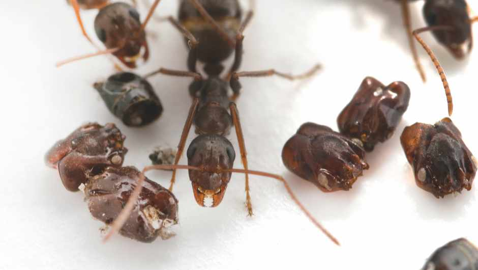 Mystery of 'headhunting' ants solved