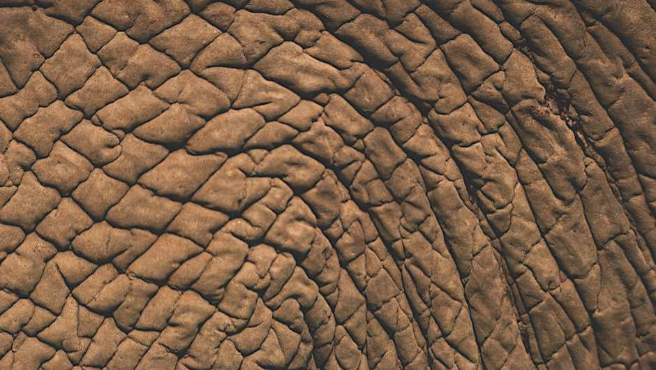 African Elephant (Loxodonta africana) skin close up, Serengeti National Park, Tanzania