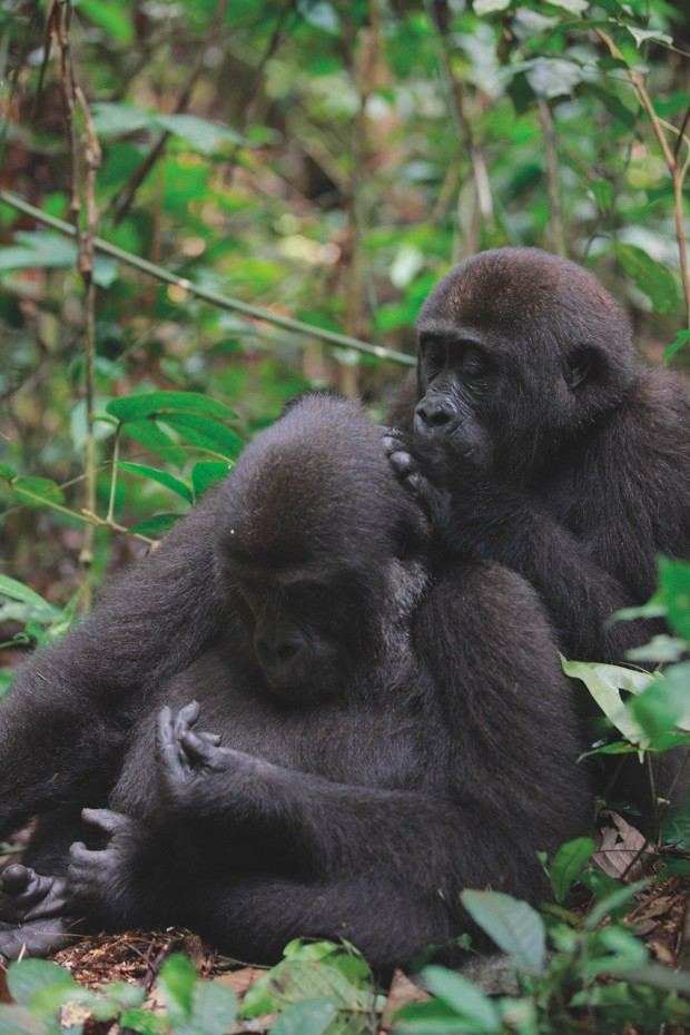 Western Lowland Gorilla (Gorilla gorilla gorilla) five year old orphans grooming, part of reintroduction project by Aspinall Foundation, Bateke Plateau National Park, Gabon © Cyril Ruoso FLPA