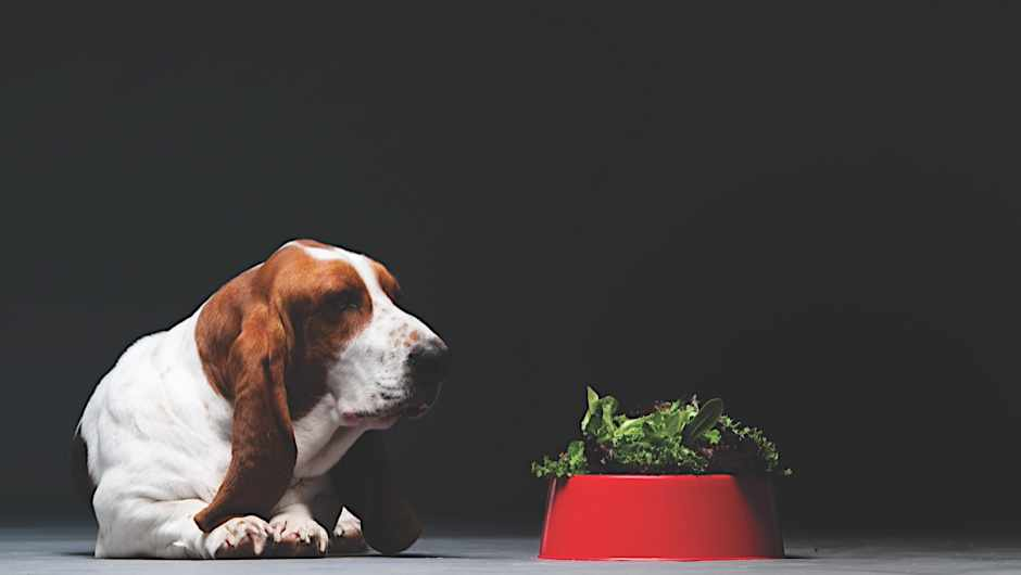 Portrait of Basset hound, with food in his red bowl.