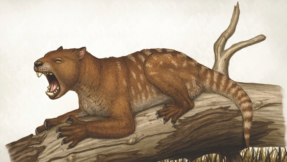 Recently discovered remains of the extinct Thylacoleo carnifex have forced a rethink of the marsupial lion's biomechanics © Getty