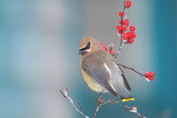 Waxwing © Getty Images