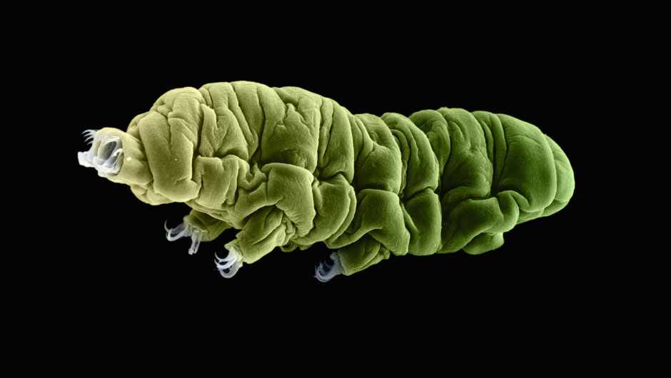 13 amazing facts about tardigrades, the world's toughest animal © Getty Images