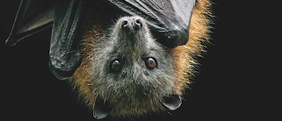 If bats are blind, why do they have eyes? © Getty