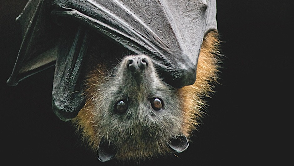 If bats are blind, why do they have eyes?