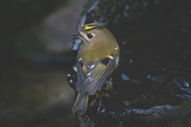Goldcrest © Getty Images