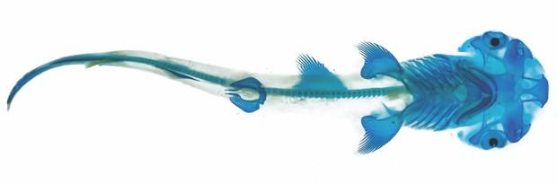 Bonnethead shark (Sphyrna tiburo) © Adam Summers