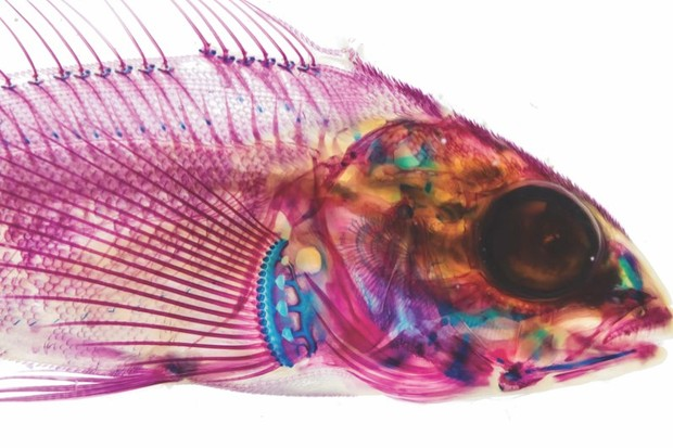 Gotta scan 'em all: 9 other-worldly CT scans of fish © Adam Summers