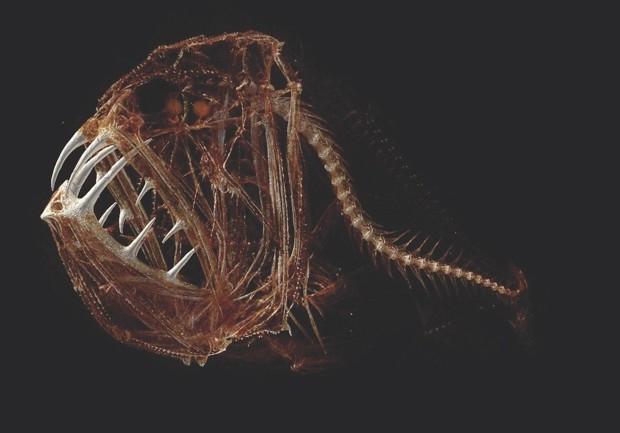 Fangtooth (Anoplogaster cornuta) © Adam Summers