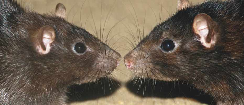 Artificial intelligence used to decode rodent chitchat