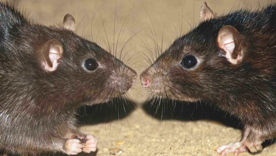 Rodents change their vocalisations depending on their mood and who they're speaking to © Jelger Herder/Minden Pictures/FLPA