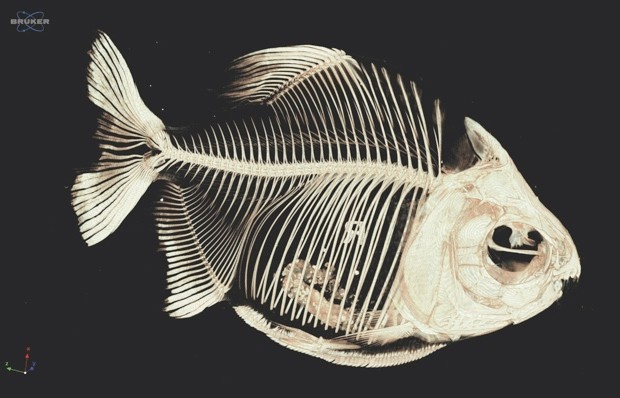 Pirapitinga (Piaractus brachypomus) © Adam Summers