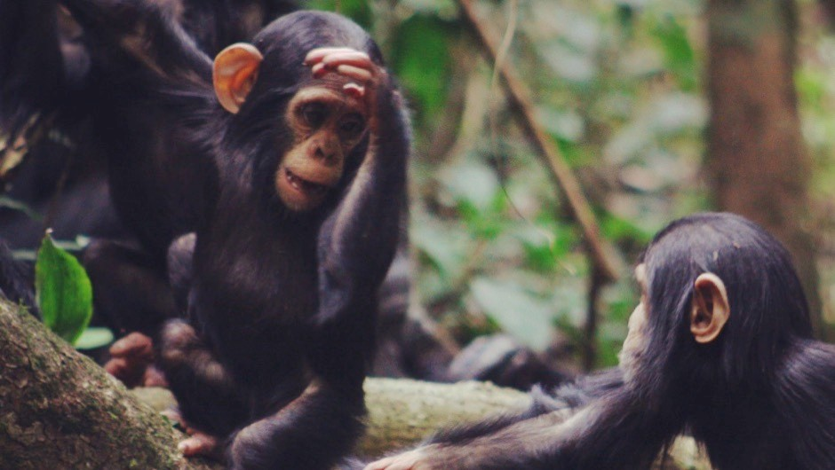 Chimpanzee gestures ape features of human language © Dr Catherine Hobaiter