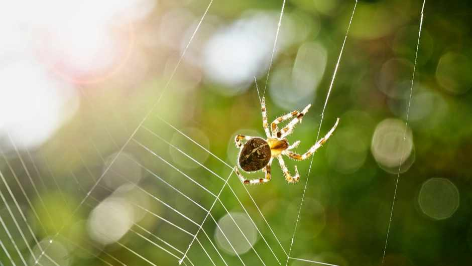 Spider silk could be used to make robotic muscles