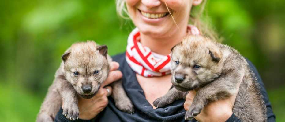 Wolves cooperate with humans just as well as dogs