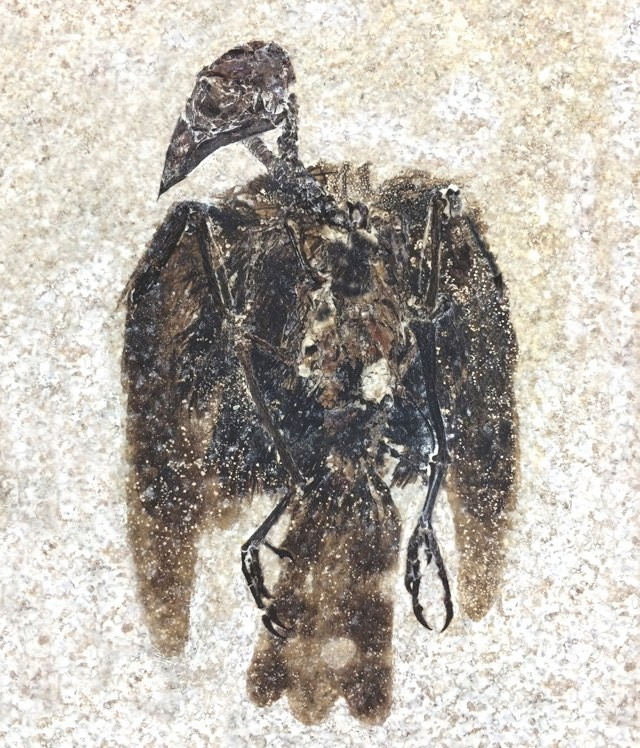 E. boudreauxi has been spectacularly preserved in rock. You can clearly see its feathers and finch-like beak © Lance Grande/Field Museum