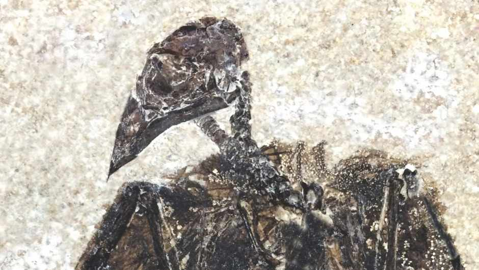 Fossil of first known perching bird found