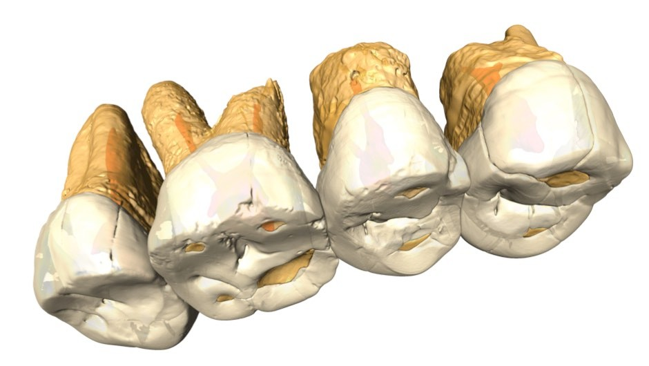 This is a CT scan and the structure of the right maxillary P3 - M2 of Homo luzonensis from Callao Cave © Callao Cave Research Project