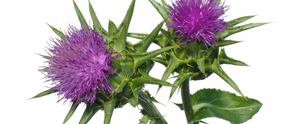 Does milk thistle can cure hangovers?